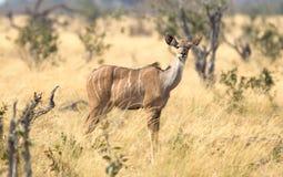 Female greater Kudu in Namibia stock photos