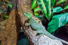 Closeup of a female green plumed basilisk sitting on a tree branch, helmeted lizard, tropical reptile pet from America royalty free stock photos