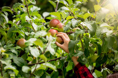 Closeup of female hand picking apples from trees at sunny day Stock Photography