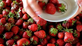 Closeup of female hand picking juicy fresh ripe strawberries and putting it on a white saucer, selective focus. Closeup of female hand picking juicy fresh ripe stock video footage