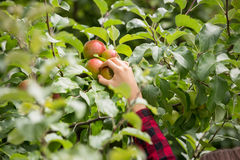 Closeup of female hand picking ripe red apples stock photos