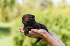 Purebred Scottish Fold kitten in the palms. Closeup of female hands holding a black purebred Scottish Fold kitten Royalty Free Stock Photography