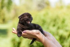 Purebred Scottish Fold kitten in the palms. Closeup of female hands holding a black purebred Scottish Fold kitten Stock Photos