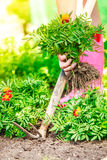 Closeup female hands holds spade replanting flowers Stock Image