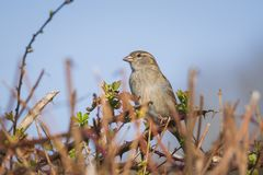 Closeup of a male House Sparrow bird passer domesticus foragin. Closeup of a female House Sparrow bird passer domesticus foraging in a hedge Royalty Free Stock Image