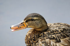 Closeup of female mallard duck Royalty Free Stock Image