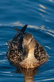 Closeup of a female mallard duck on the water. Birds and animals in wildlife. Amazing mallard duck swims in lake or river with blue water under sunlight Stock Images