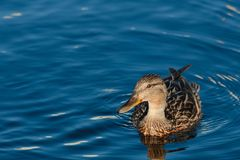 Closeup of a female mallard duck on the water. Birds and animals in wildlife. Amazing mallard duck swims in lake or river with blue water under sunlight Stock Photography
