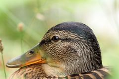 Closeup of female mallard head Stock Photography