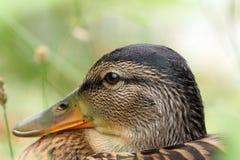 Closeup of female mallard head. Closeup of female mallard duck head, portrait ( Anas platyrhynchos Stock Photography