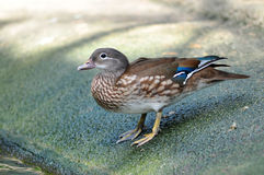 Closeup female mandarin duck Stock Images