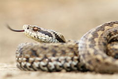 Closeup of female meadow adder Stock Image