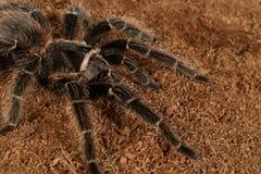 Free Closeup Female Of Spider Tarantula On Brown Soil. Stock Photos - 143708173