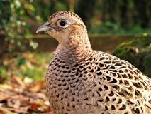 Closeup of a female pheasant. Closeup of a wild female pheasant Phasianus colchicus showing details of plumage royalty free stock images