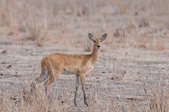 Closeup of a female Reedbuck. Closeup of female Reedbuck scientific name: Redunca redunca, or `Tohe ndope` in Swaheli in the Tarangire, National park, Tanzania Stock Images