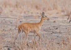 Closeup of a female Reedbuck. Closeup of female Reedbuck scientific name: Redunca redunca, or `Tohe ndope` in Swaheli in the Tarangire, National park, Tanzania Royalty Free Stock Photography