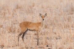 Closeup of a female Reedbuck. Closeup of Reedbuck scientific name: Redunca redunca, or `Tohe ndope` in Swaheli image taken on Safari located in the Serengeti/ Royalty Free Stock Photography
