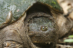 Closeup of Female Snapping Turtle Royalty Free Stock Photography