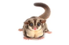 Closeup of female sugar glider standing. On the floor isolate on white Stock Photos