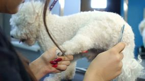 Closeup of female veterinarian combing a white fluffy dog in a veterinary clinic. Close-up of a female veterinarian combing a white fluffy dog in a veterinary stock video