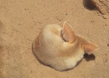 Close up Fennec Fox Sleeping on The Sand stock image