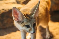 Closeup of a fennec fox in stuttgart zoo stock photos