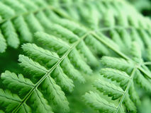 Closeup of a Fern Stock Photos