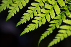 Closeup of a fern frond. Closeup of a fern (Athyrium filix-femina)  frond on a blurred black background Royalty Free Stock Photo