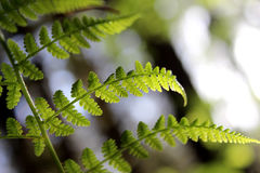 Closeup of a fern. Frond with light shining through it Stock Photography