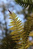 Closeup of Fern Frond Undersides. Closeup of the underside of a fern Royalty Free Stock Photo