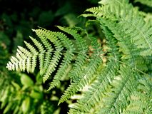 Closeup of fern leaves. With blurred background Stock Photography