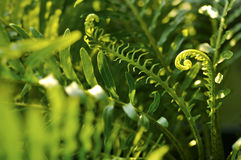 Closeup of fern leaves Royalty Free Stock Photo