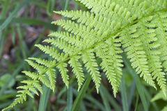 Closeup fern leaves Royalty Free Stock Photography