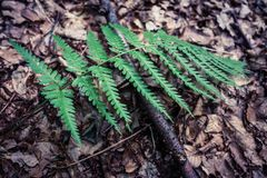 Closeup of fern nonflowering vascular plant reproduce by spores. Outdoor in forest Stock Images