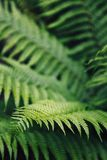 Closeup of ferns in the scottish highlands. Closeup of the leaves of some ferns in the scottish highlands Stock Photo