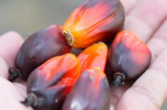 Closeup fesh palm oil seed. On hands stock photo
