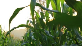 Closeup of a field of corn farm with flare . stock video