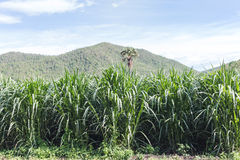 Closeup of a field of corn Royalty Free Stock Images