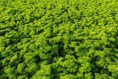 Closeup of a field with curly leaf Parsley Royalty Free Stock Photography
