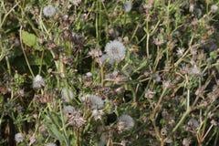 Dandelion field royalty free stock image
