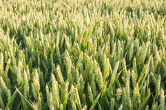 Closeup of a field with immature wheat Royalty Free Stock Photos