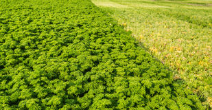 Closeup of a field with partially harvested curly leaf Parsley Royalty Free Stock Photo