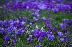 Closeup of a field of violet crocuses and green grass stock image