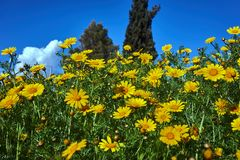 Springtime yellow flowers on a blue sky background. Closeup of a field of yellow spring flowers Royalty Free Stock Photo