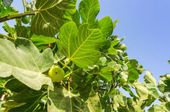 Closeup for fig tree Stock Photo