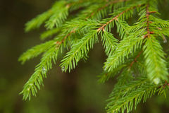 Closeup fir branches with raindrops, blurred background. Forest Stock Photo