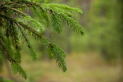 Closeup fir branches with young buds, blurred background Stock Photo