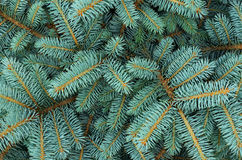 Closeup of fir tree. For background Royalty Free Stock Photo