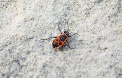 Closeup of firebug. Royalty Free Stock Photo