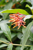 Closeup of firebush: shrub in florida Royalty Free Stock Image